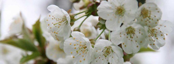 Kirschblüten - Urlaub mit Pflege