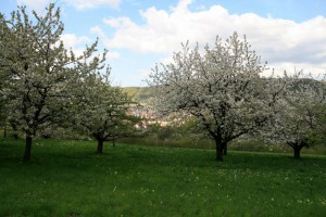 Kirschblüte im Ermstal
