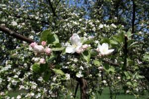 Apfelblüte - Urlaub mit Pflege