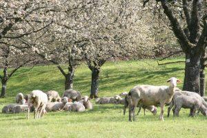 Nach der Schafschur im Ermstal